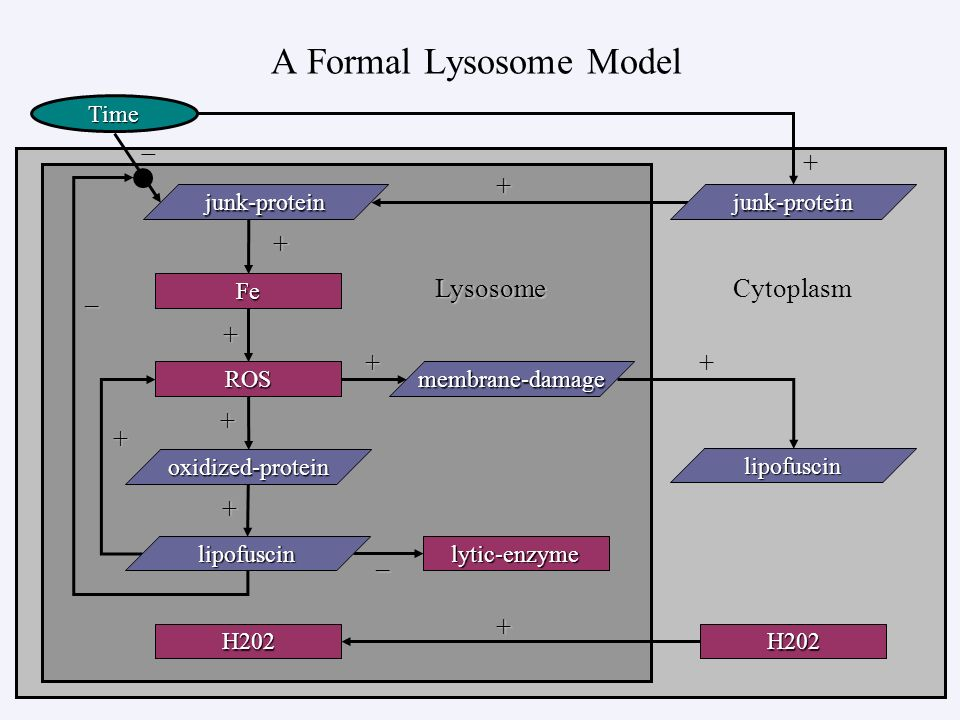 A Formal Lysosome Model – + + – + ++ + + Time – LysosomeCytoplasm Fe ROS lytic-enzyme membrane-damage lipofuscin junk-proteinjunk-protein H202 lipofuscin H202 oxidized-protein + + +
