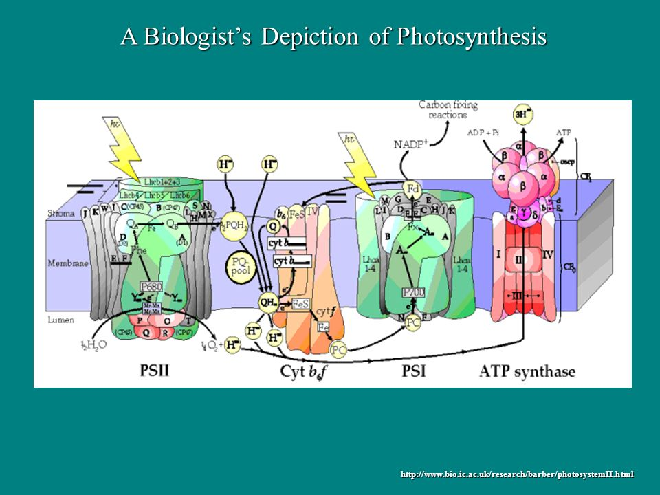 http://www.bio.ic.ac.uk/research/barber/photosystemII.html A Biologists Depiction of Photosynthesis