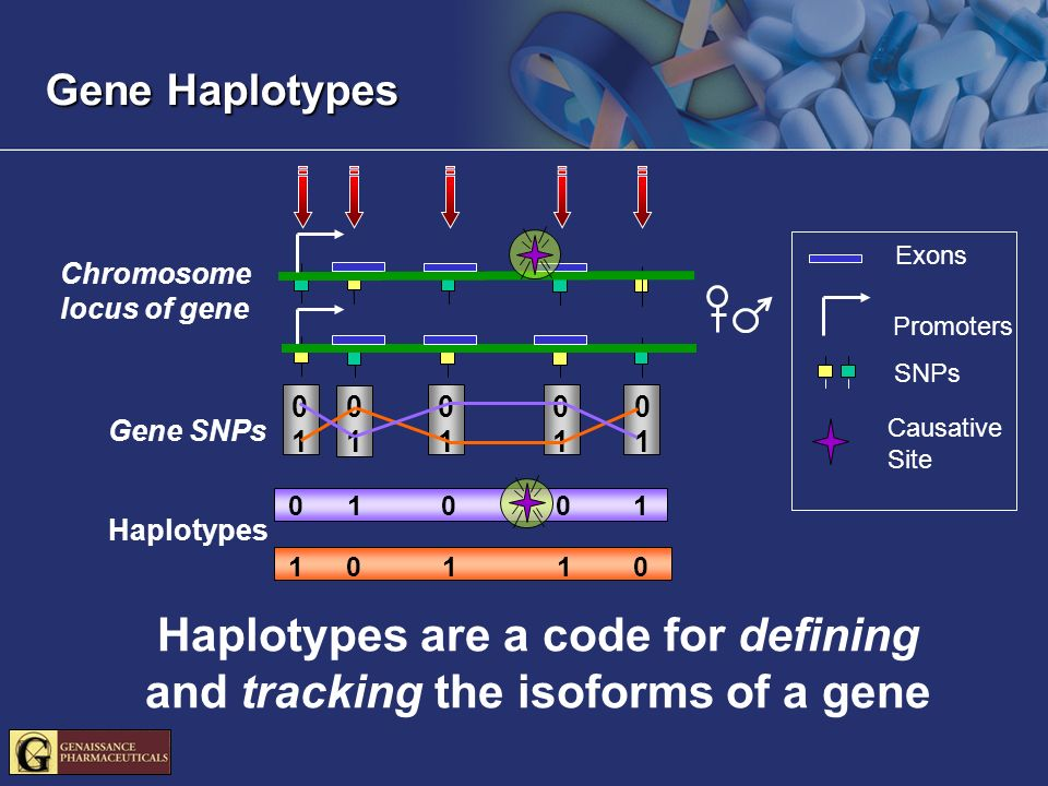 Exons Promoters SNPs Chromosome locus of gene Gene SNPs Haplotypes Causative Site Haplotypes are a code for defining and tracking the isoforms of a gene Gene Haplotypes
