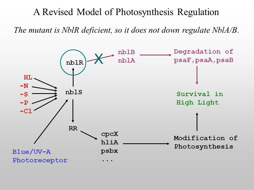 The mutant is NblR deficient, so it does not down regulate NblA/B.