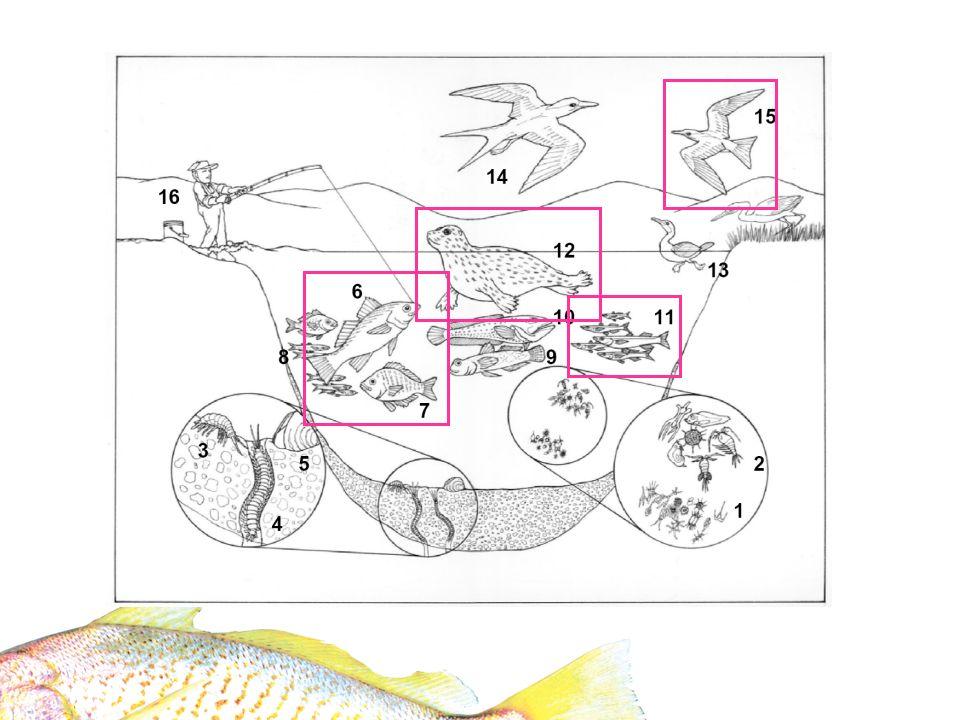SpeciesPrey types Contaminant pathways Spatial variation in diet Shiner surfperch Epibenthic invertebratesSediment and boundary layer No White croaker Benthic and epibenthic invertebrates and small fish Sediment and boundary layer No Topsmelt Algae and zooplanktonWater columnNo Silverside Epibenthic, terrestrial invertebrates, and zooplankton Sediment and water column No Least tern Small pelagic forage fish (e.g., topsmelt, silverside) Water columnYes (prey types) Harbor seal Large pelagic forage fishWater columnYes (prey types) Hypotheses: