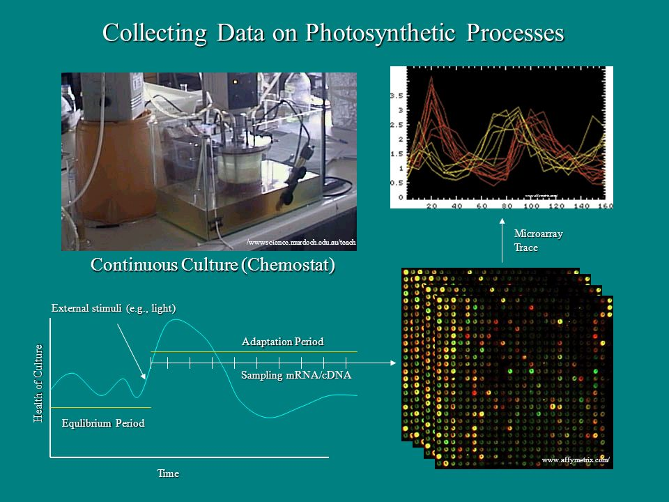 Collecting Data on Photosynthetic Processes External stimuli (e.g., light) Adaptation Period Sampling mRNA/cDNA Equlibrium Period MicroarrayTrace Continuous Culture (Chemostat) /wwwscience.murdoch.edu.au/teach   Health of Culture Time