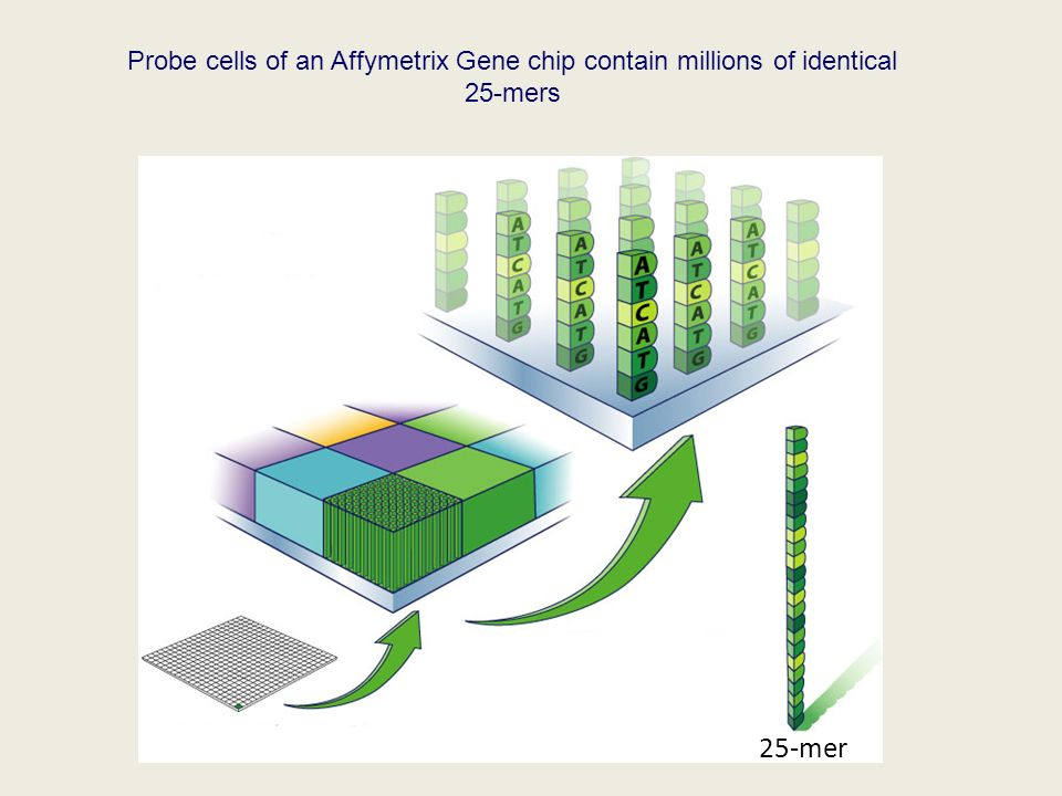 Probe cells of an Affymetrix Gene chip contain millions of identical 25-mers 25-mer