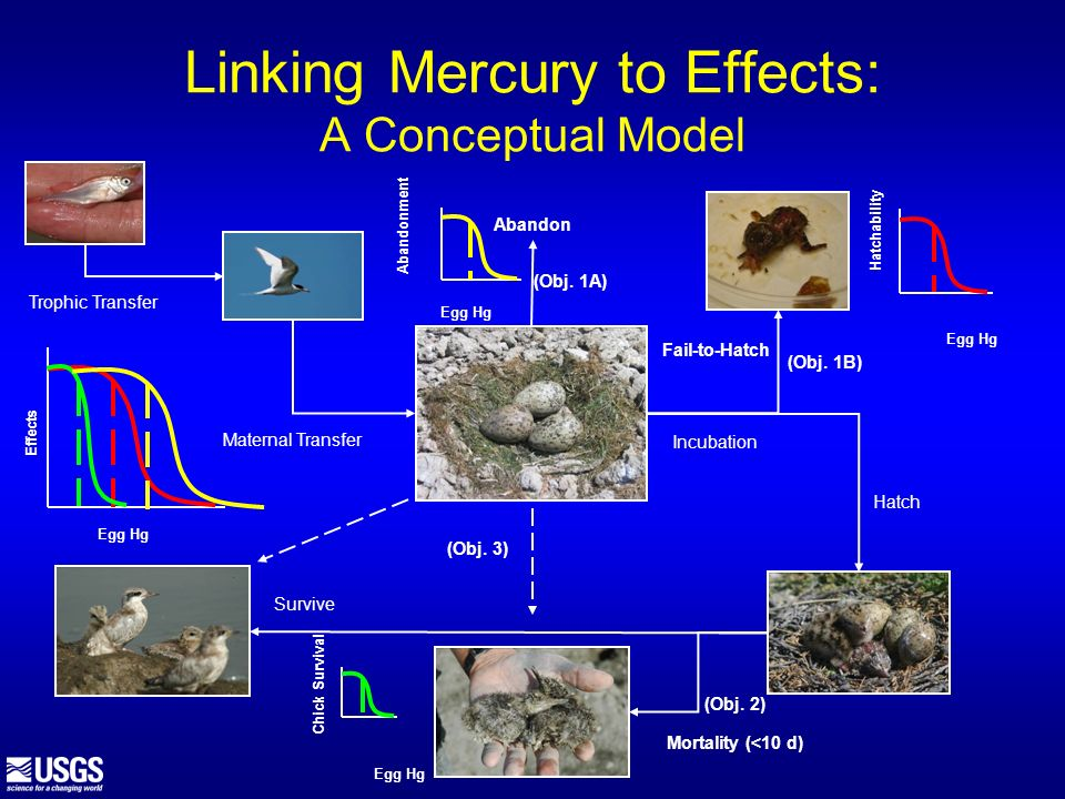 Linking Mercury to Effects: A Conceptual Model Trophic Transfer Maternal Transfer Fail-to-Hatch Hatch Mortality (<10 d) Survive Incubation Abandon (Ob