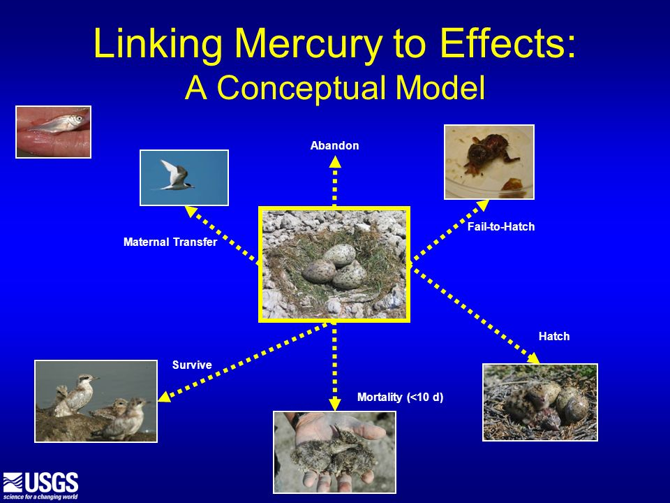 Linking Mercury to Effects: A Conceptual Model Maternal Transfer Fail-to-Hatch Hatch Mortality (<10 d) Survive Abandon