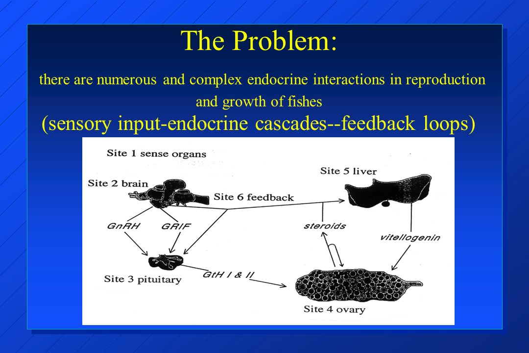 The Problem: there are numerous and complex endocrine interactions in reproduction and growth of fishes (sensory input-endocrine cascades--feedback loops)