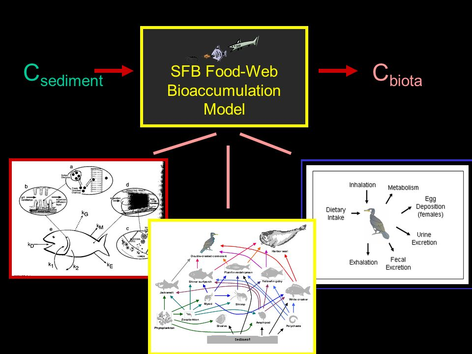 SFB Food-Web Bioaccumulation Model C sediment C biota
