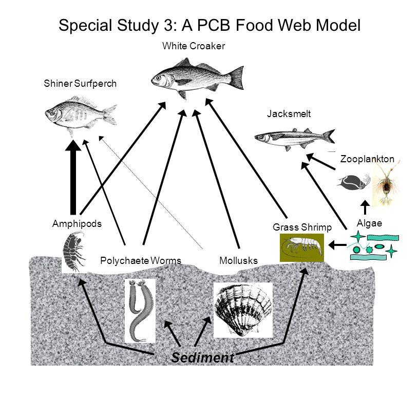 Sediment Shiner Surfperch White Croaker Jacksmelt Zooplankton Algae Grass Shrimp MollusksPolychaete Worms Amphipods Special Study 3: A PCB Food Web Mo