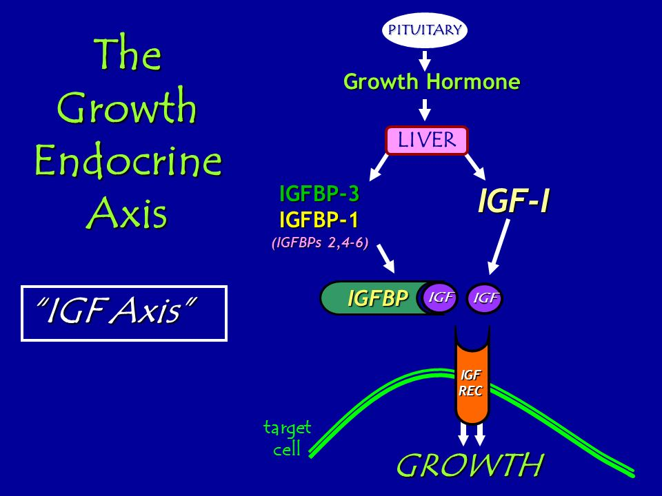 The Growth Endocrine Axis PITUITARY LIVER IGF-IIGFBP-3IGFBP-1 (IGFBPs 2,4-6) IGFBP GROWTH target cell Growth Hormone IGF REC IGF IGFBP IGF IGF Axis