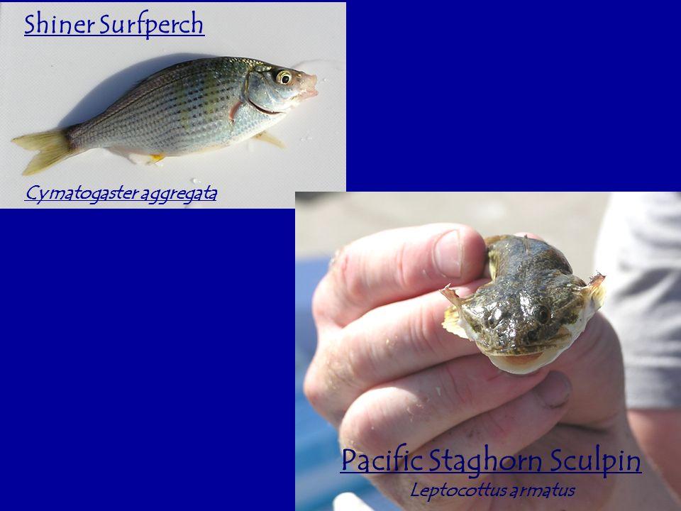 Shiner Surfperch Cymatogaster aggregata Pacific Staghorn Sculpin Leptocottus armatus
