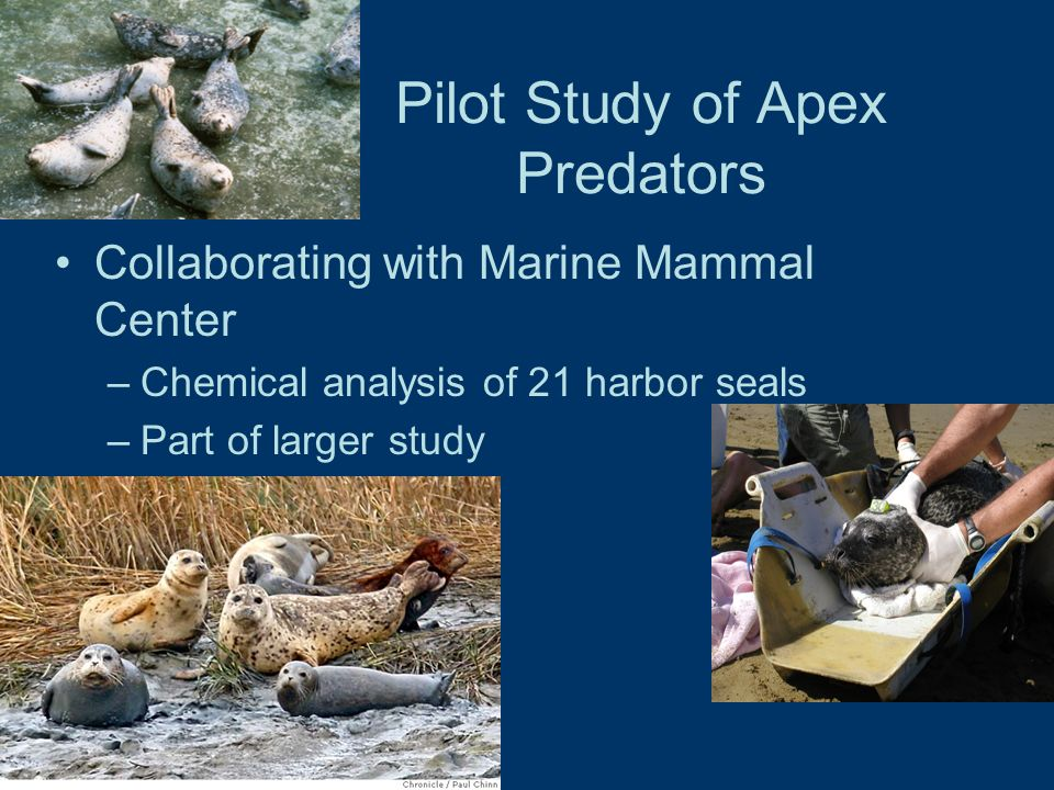 Pilot Study of Apex Predators Collaborating with Marine Mammal Center –Chemical analysis of 21 harbor seals –Part of larger study
