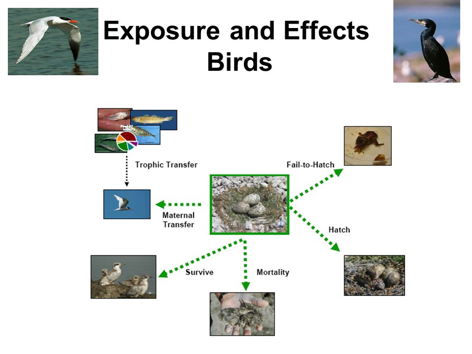 Exposure and Effects Birds