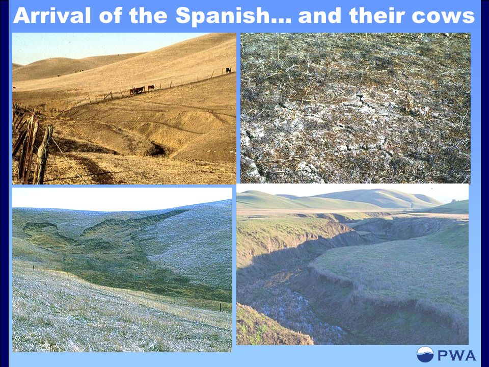 Arrival of the Spanish… and their cows