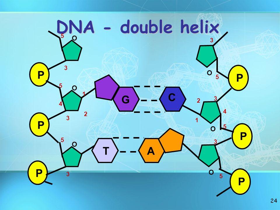 24 DNA - double helix P P P O O O 1 2 3 4 5 5 3 3 5 P P P O O O 1 2 3 4 5 5 3 5 3 G C TA