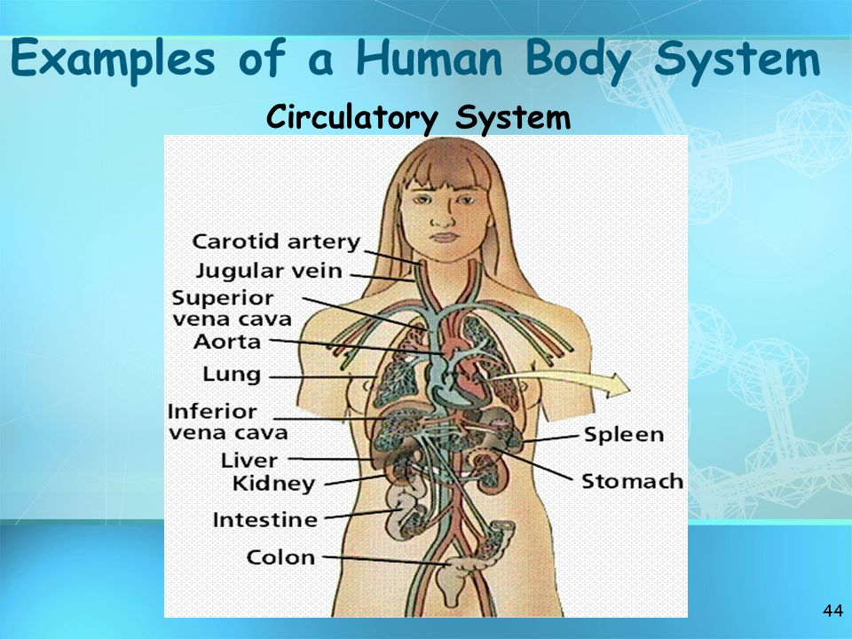43 Examples of a Human Body System
