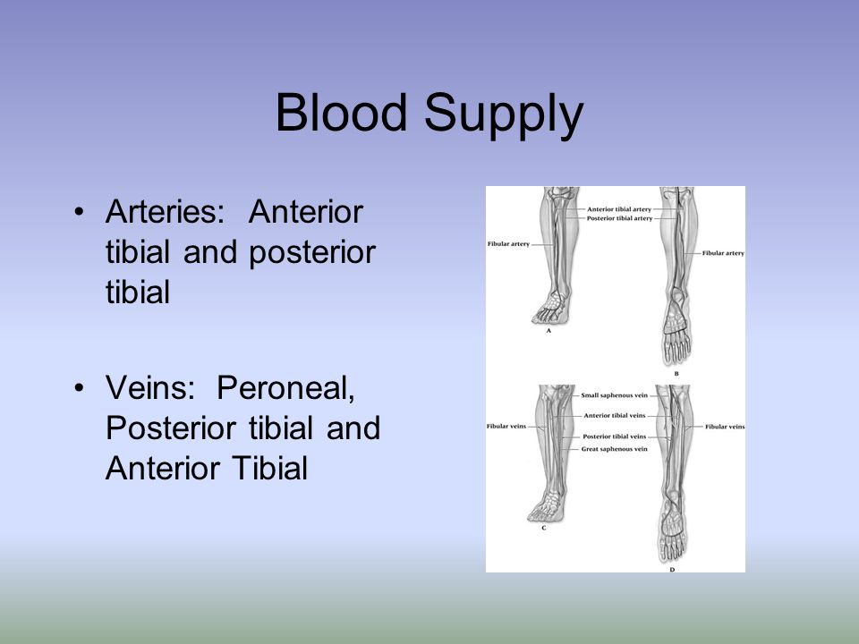 Blood Supply Arteries: Anterior tibial and posterior tibial Veins: Peroneal, Posterior tibial and Anterior Tibial