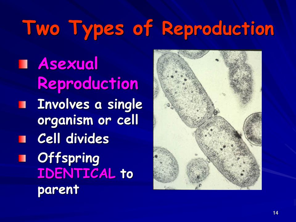 14 Two Types of Reproduction Asexual Reproduction Involves a single organism or cell Cell divides Offspring IDENTICAL to parent