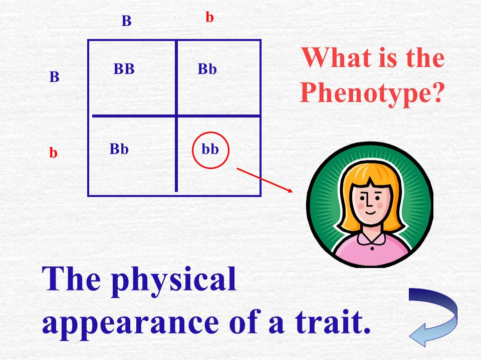 What is the Genotype? An organisms allele combinations. BBBb bb b B B b