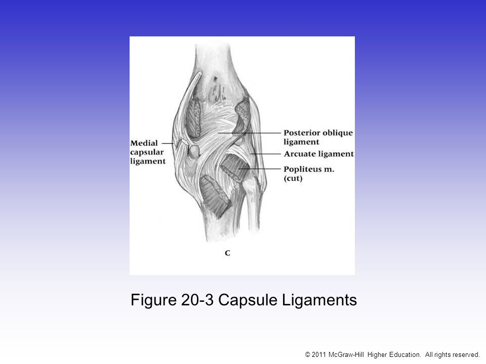 Joint Capsule Knee joint is enveloped by a the largest joint capsule Reinforced by collateral ligaments and muscle