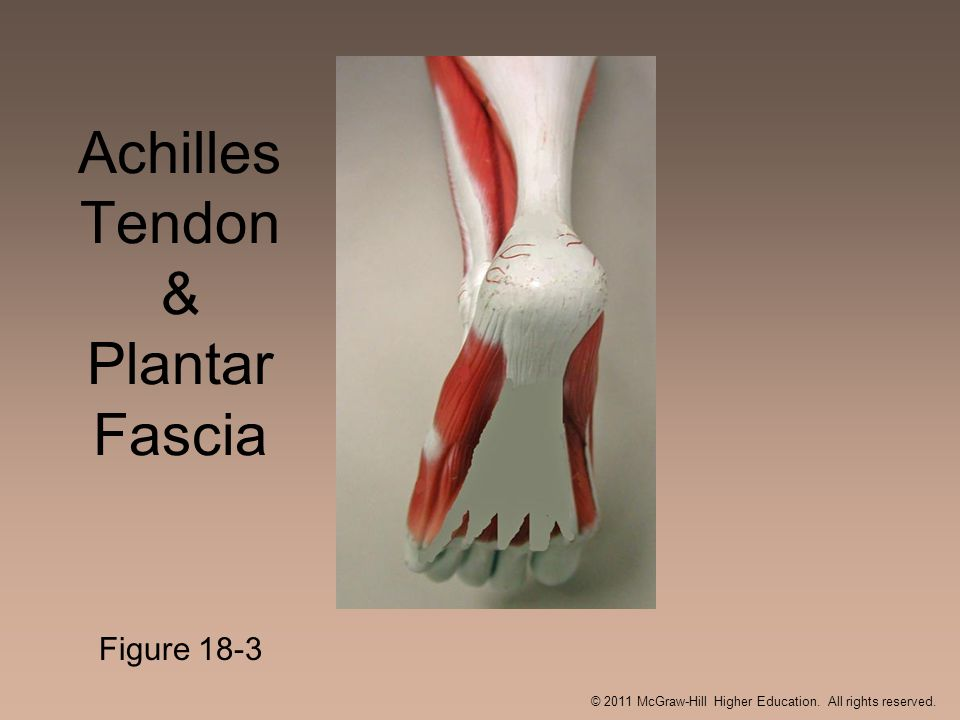 Achilles Tendon & Plantar Fascia Figure 18-3 © 2011 McGraw-Hill Higher Education. All rights reserved.