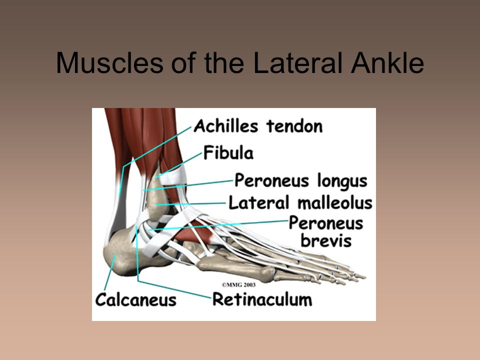 Muscles of the Lateral Ankle