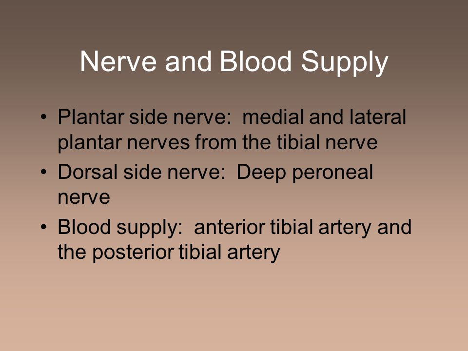 Nerve and Blood Supply Plantar side nerve: medial and lateral plantar nerves from the tibial nerve Dorsal side nerve: Deep peroneal nerve Blood supply