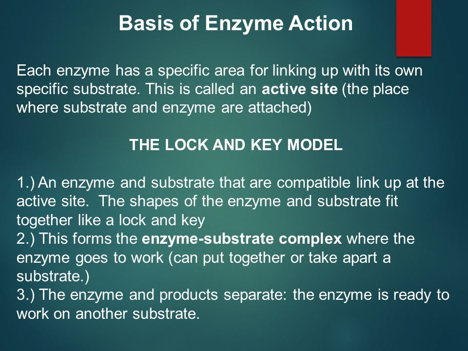 Basis of Enzyme Action Each enzyme has a specific area for linking up with its own specific substrate. This is called an active site (the place where