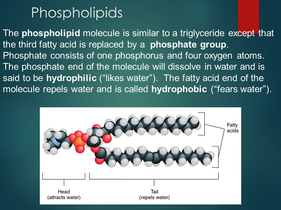 Phospholipid bilayer When phospholipid molecules are mixed in water, they will form a stable bilayer structure with the phosphate heads facing the water and the water fearing fatty acid tails facing each other.