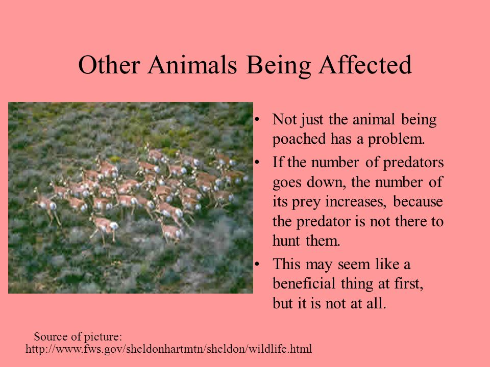 Other Animals Being Affected Not just the animal being poached has a problem. If the number of predators goes down, the number of its prey increases,