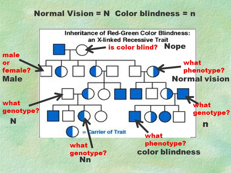 male or female? Normal Vision = N Color blindness = n is color blind? what genotype? what phenotype? what genotype? what phenotype? what genotype? Mal