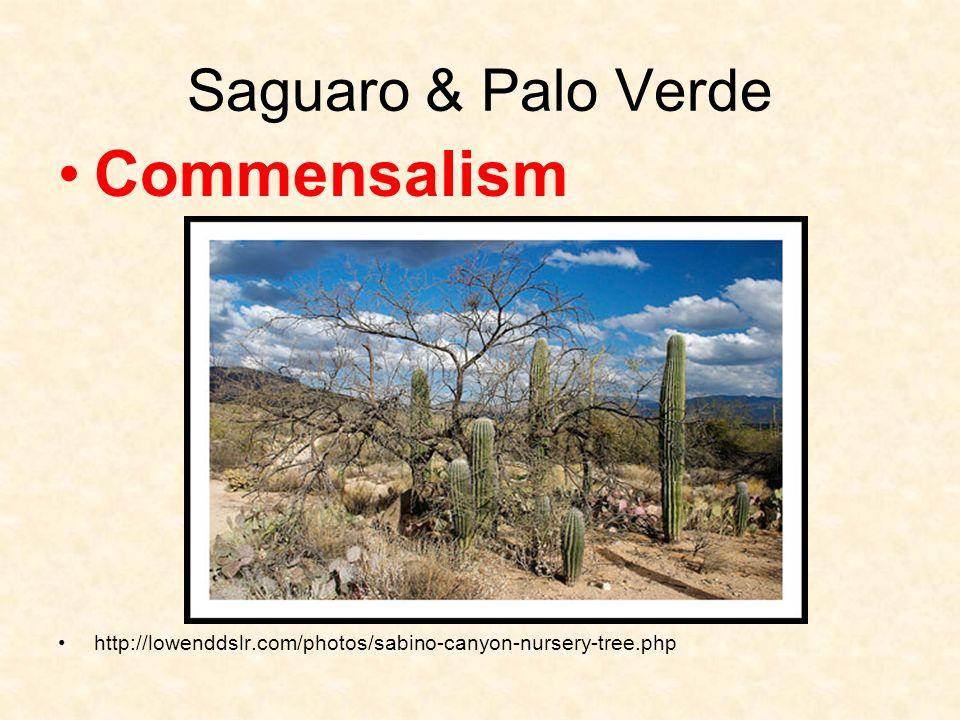 Saguaro & Palo Verde Commensalism http://lowenddslr.com/photos/sabino-canyon-nursery-tree.php