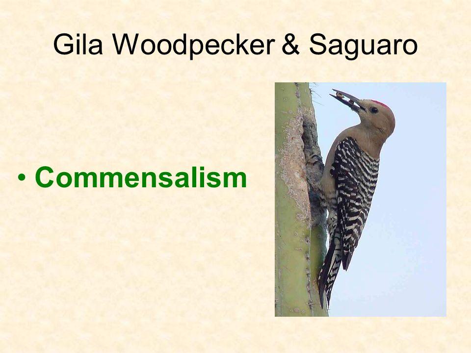 Gila Woodpecker & Saguaro Commensalism