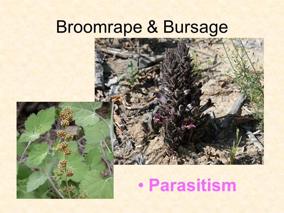 Broomrape & Bursage Parasitism