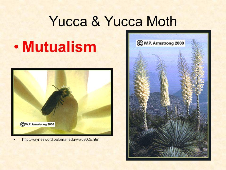 Yucca & Yucca Moth Mutualism http://waynesword.palomar.edu/ww0902a.htm