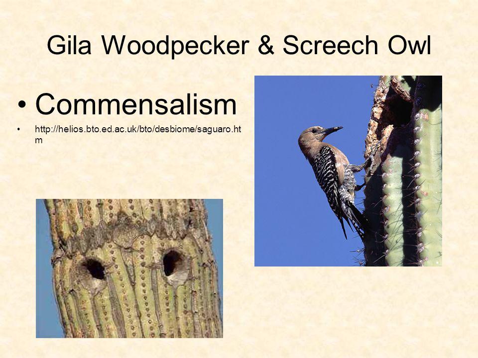 Gila Woodpecker & Screech Owl Commensalism http://helios.bto.ed.ac.uk/bto/desbiome/saguaro.ht m