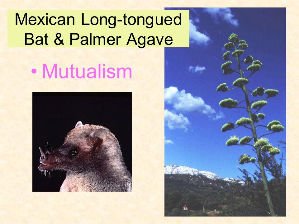 Mutualism Mexican Long-tongued Bat & Palmer Agave
