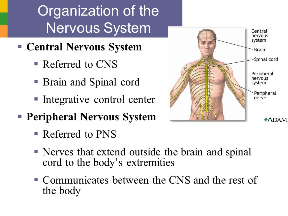 Copyright © 2006 Pearson Education, Inc., publishing as Benjamin Cummings Organization of the Nervous System Central Nervous System Referred to CNS Br