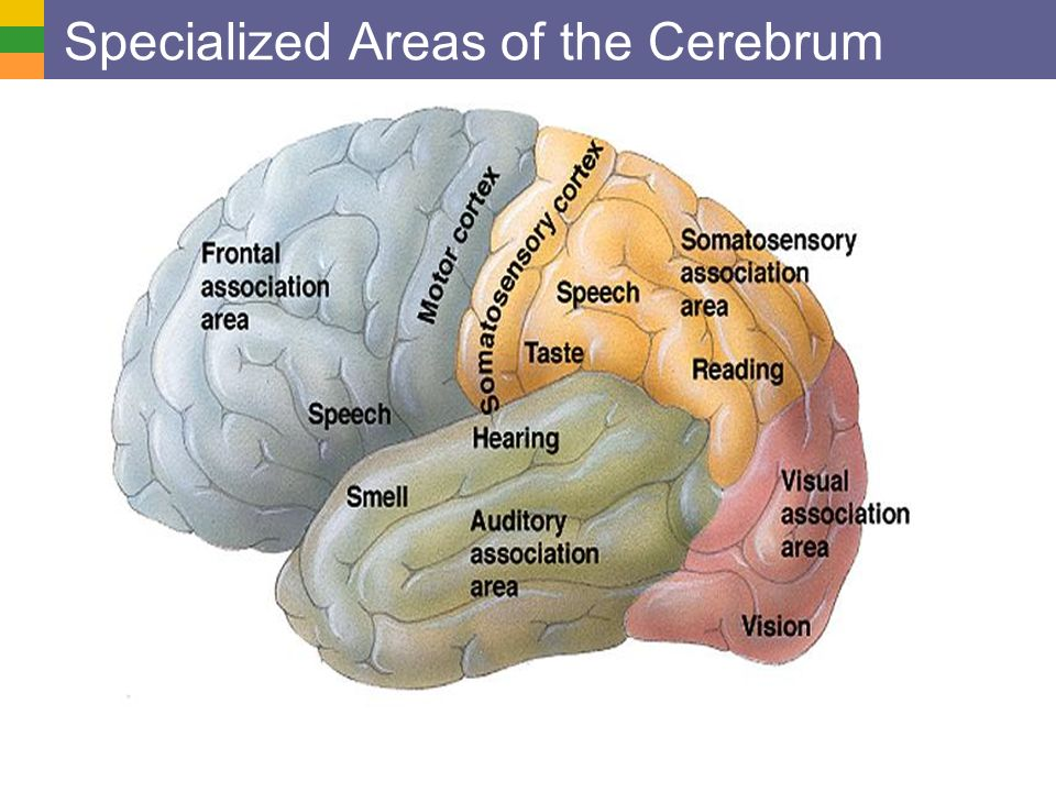 Copyright © 2006 Pearson Education, Inc., publishing as Benjamin Cummings Specialized Areas of the Cerebrum