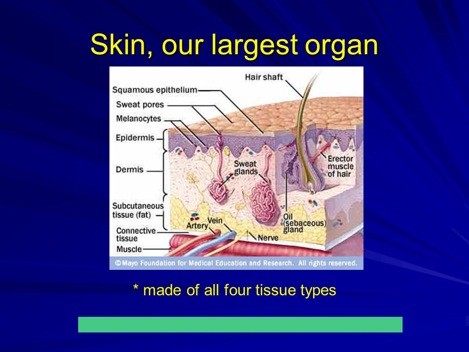 Skin, our largest organ * made of all four tissue types