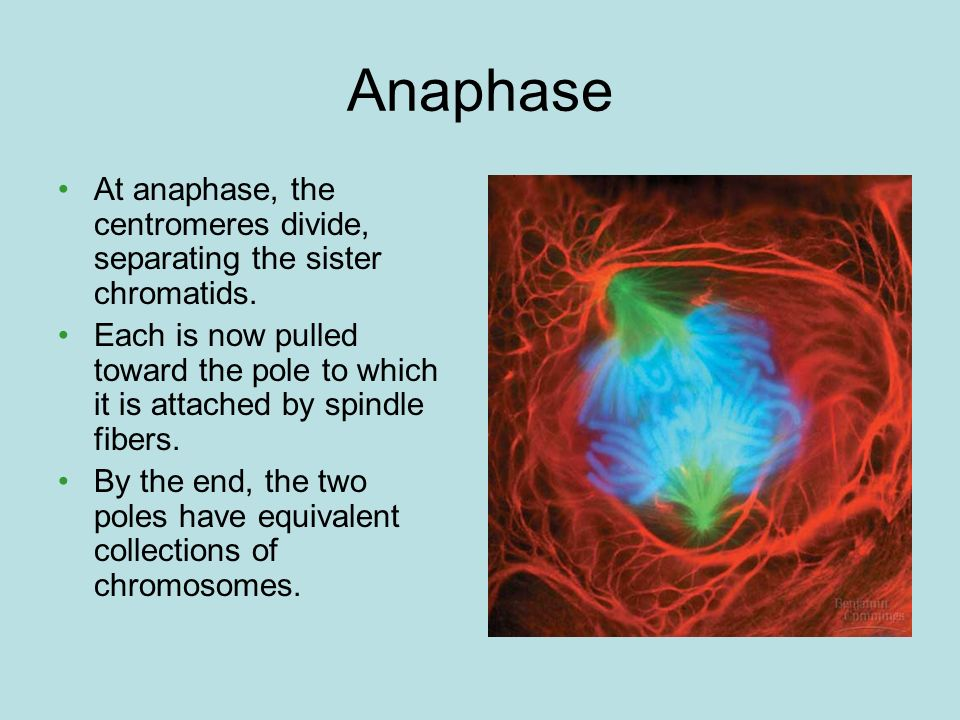 Anaphase At anaphase, the centromeres divide, separating the sister chromatids. Each is now pulled toward the pole to which it is attached by spindle