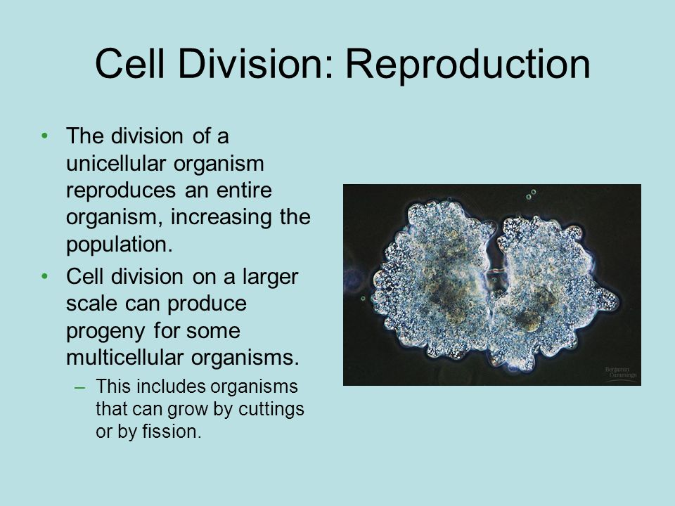 Cell Division: Reproduction The division of a unicellular organism reproduces an entire organism, increasing the population. Cell division on a larger