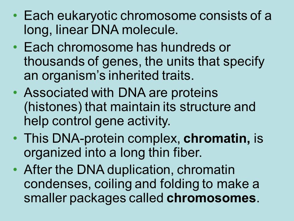 Each eukaryotic chromosome consists of a long, linear DNA molecule. Each chromosome has hundreds or thousands of genes, the units that specify an orga