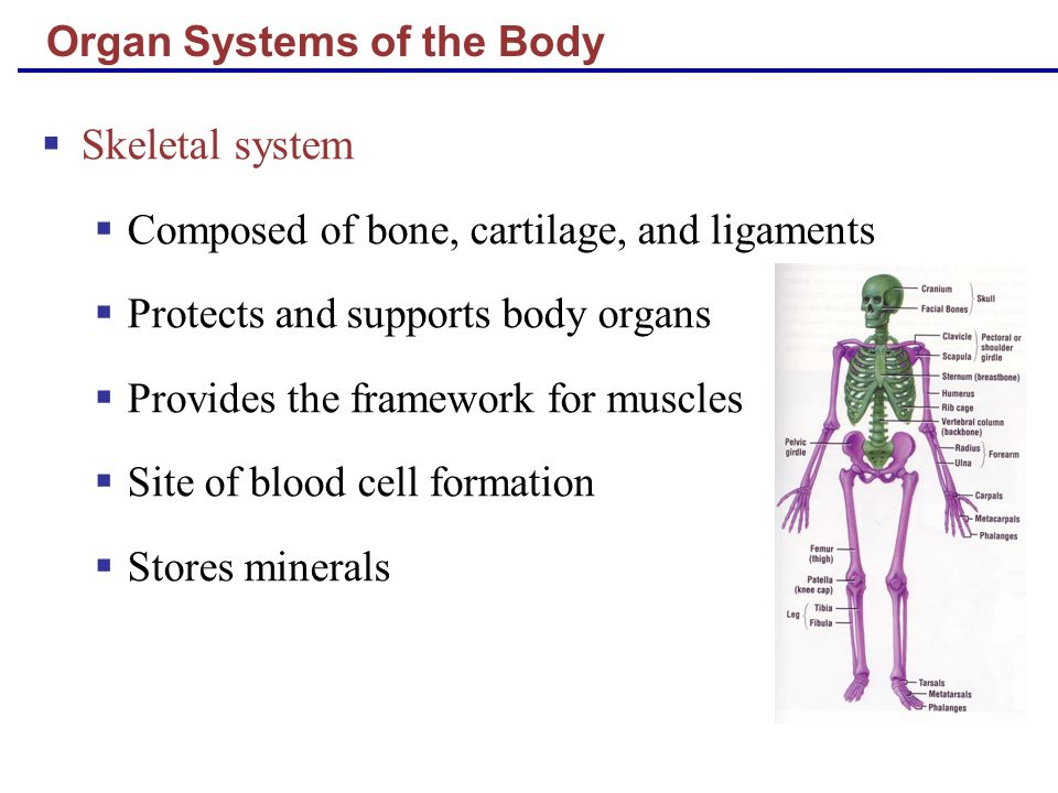 Organ Systems of the Body Skeletal system Composed of bone, cartilage, and ligaments Protects and supports body organs Provides the framework for musc
