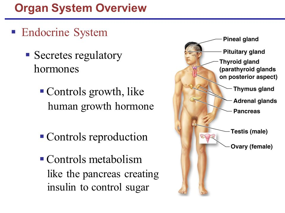 Organ System Overview Endocrine System Secretes regulatory hormones Controls growth, like Controls reproduction Controls metabolism like the pancreas