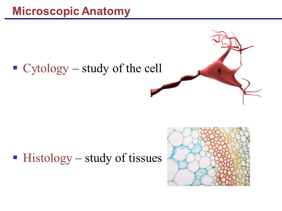 Microscopic Anatomy Cytology – study of the cell Histology – study of tissues