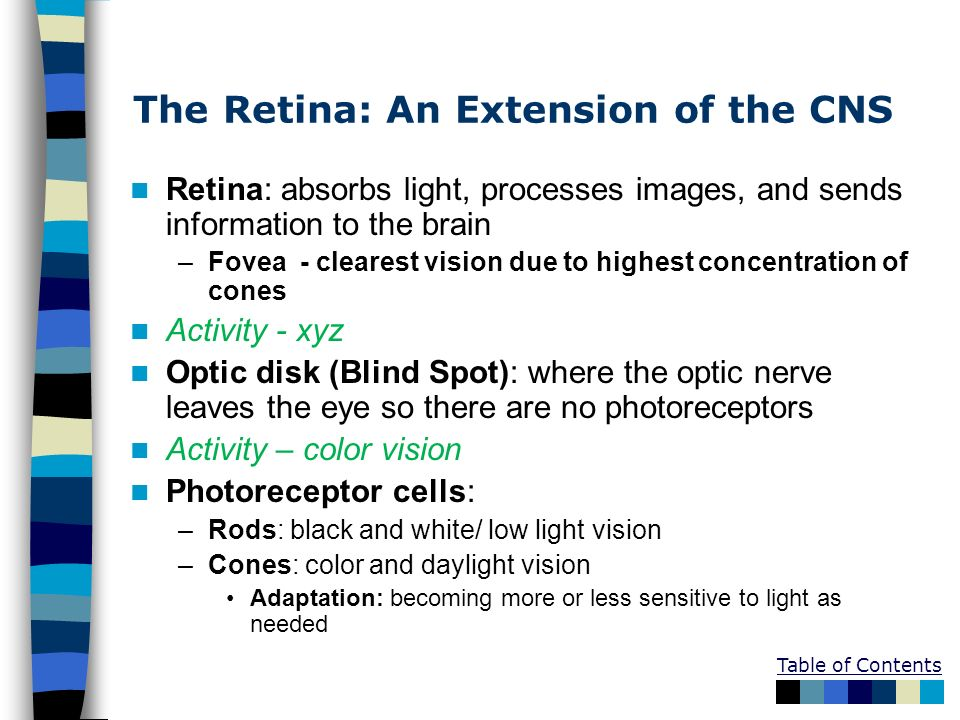 Table of Contents The Retina: An Extension of the CNS Retina: absorbs light, processes images, and sends information to the brain –Fovea - clearest vi