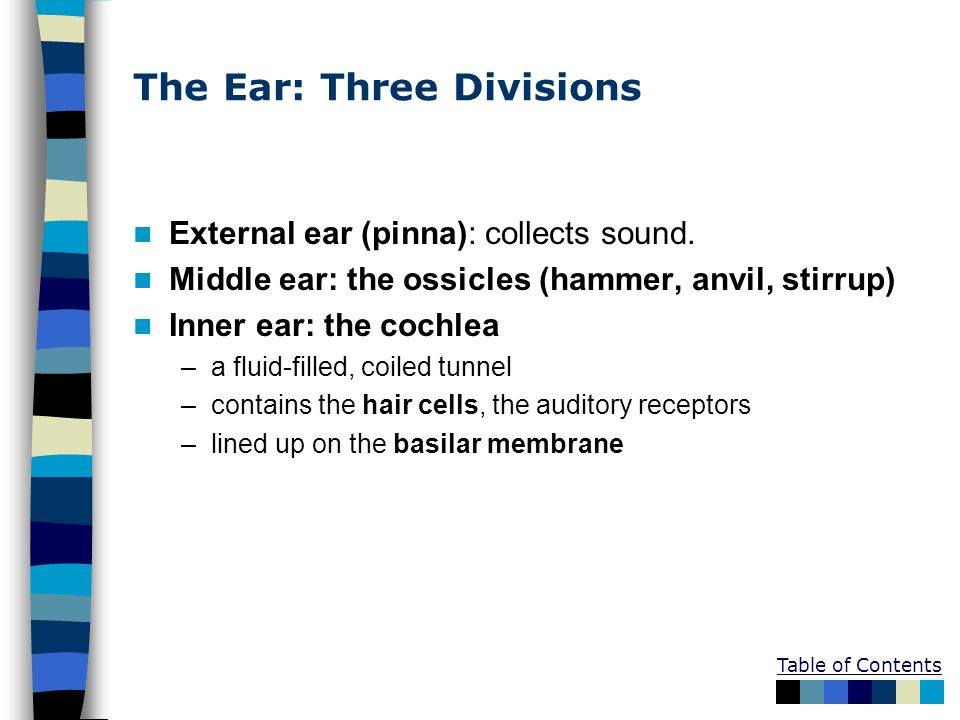 The Ear: Three Divisions External ear (pinna): collects sound. Middle ear: the ossicles (hammer, anvil, stirrup) Inner ear: the cochlea –a fluid-fille