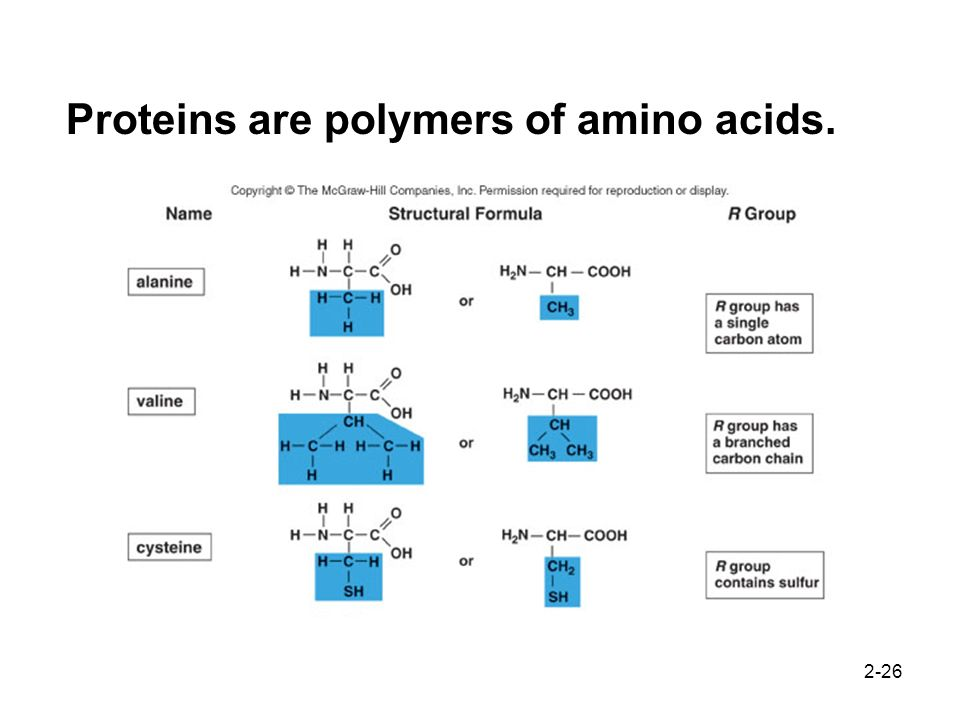 2-26 Proteins are polymers of amino acids.
