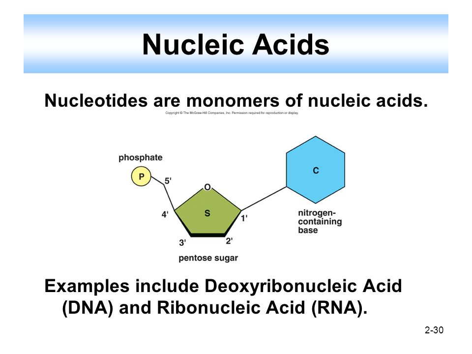 2-30 Nucleic Acids Nucleotides are monomers of nucleic acids. Examples include Deoxyribonucleic Acid (DNA) and Ribonucleic Acid (RNA).