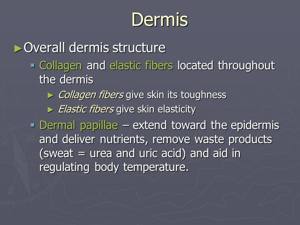 Dermis Overall dermis structure Overall dermis structure Collagen and elastic fibers located throughout the dermis Collagen and elastic fibers located